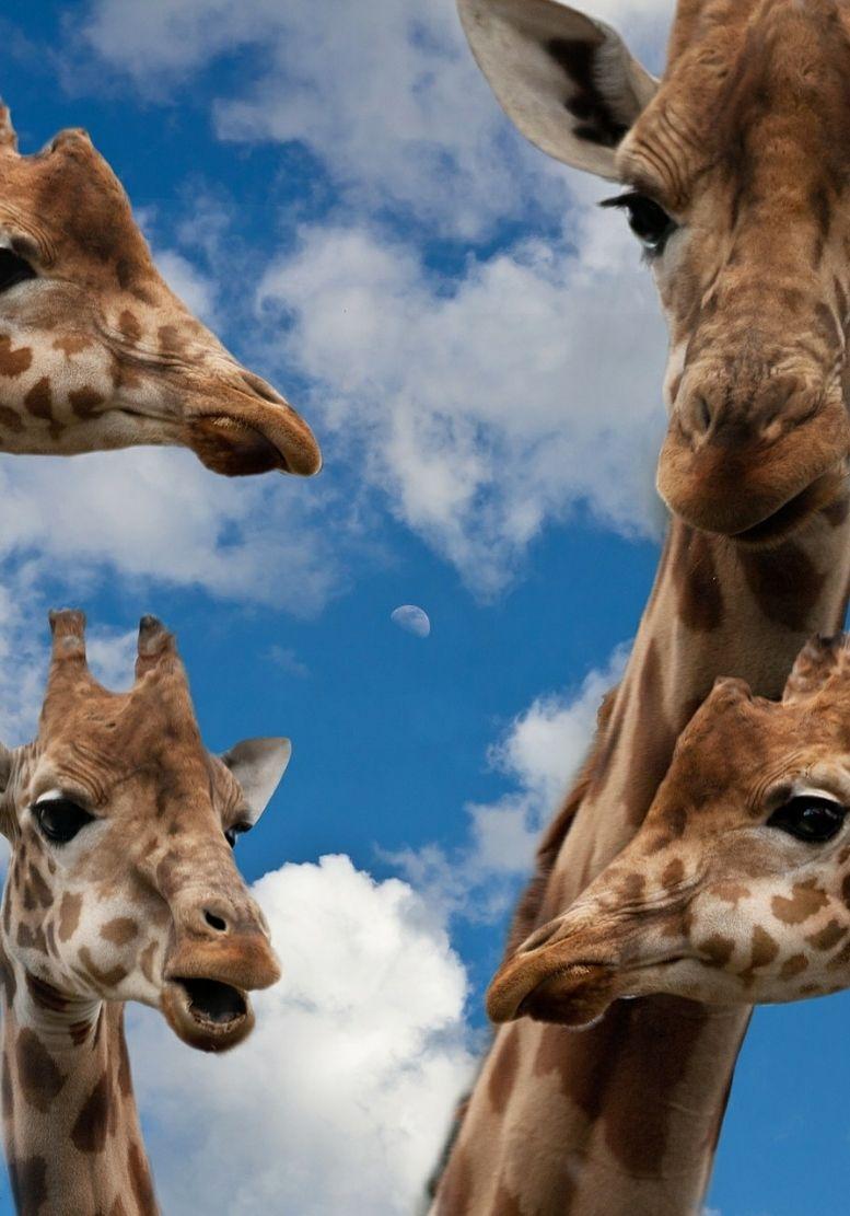 GfK-Giraffen
